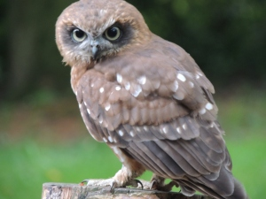 Oscar, BooBook Owl