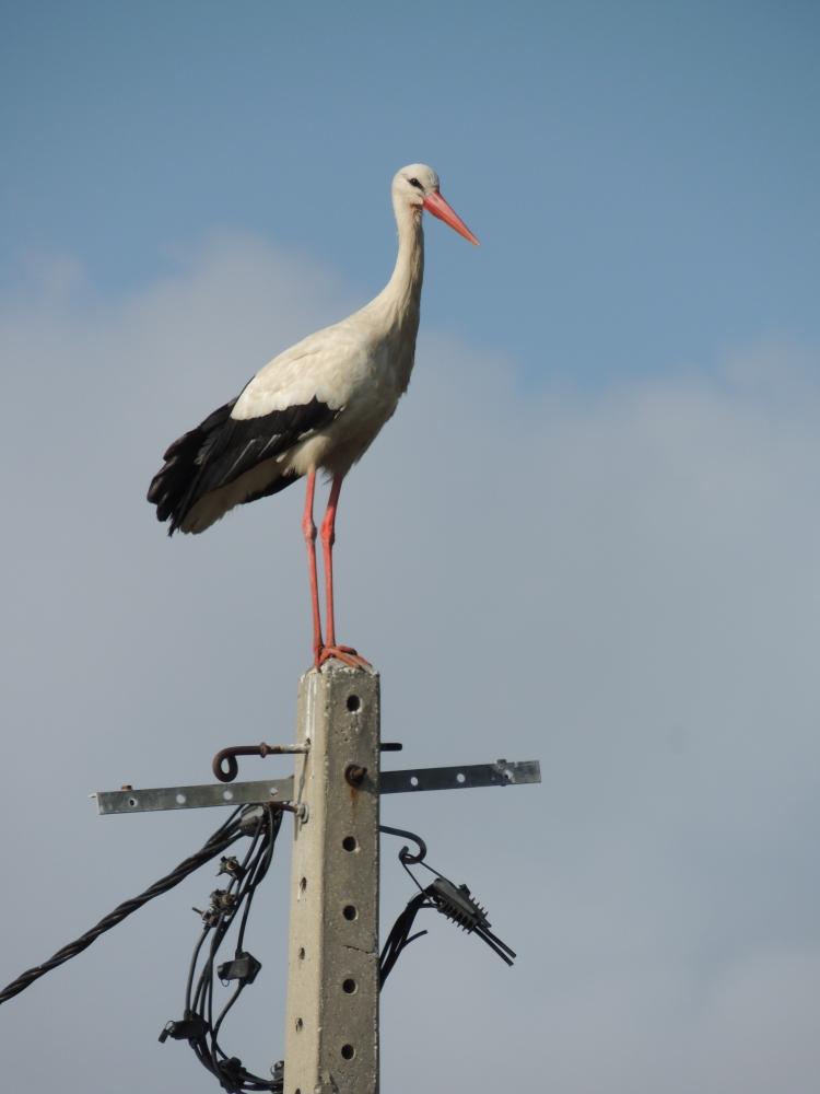 European White Stork in Olhão, Algarve taken on Friday