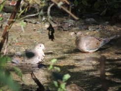 Doves wading