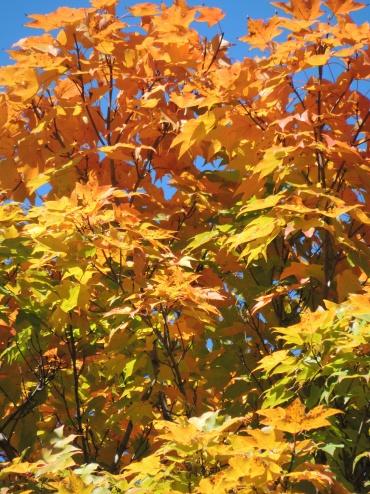 Schenley foliage