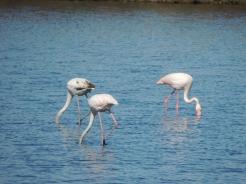 Algarvian Flamingos