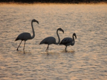 Algarvian Flamingoes