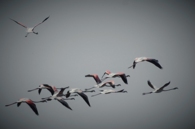 Flamingoes in flight