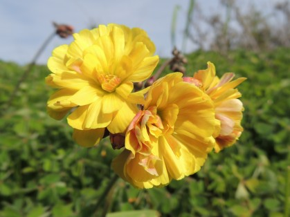Bermuda Buttercup double