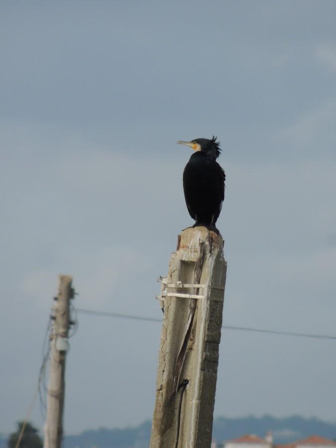 Cormorant at Marim