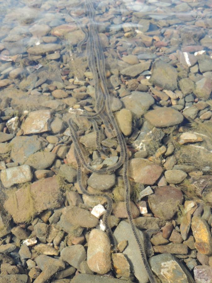 Toad Spawn in Alportel river