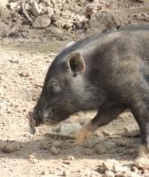 Geometric Piggy