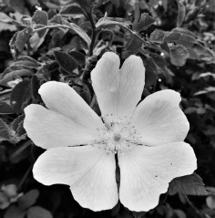 Dog Rose Two