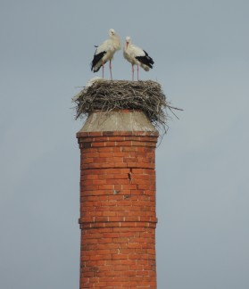 White Storks in Olhao (1)