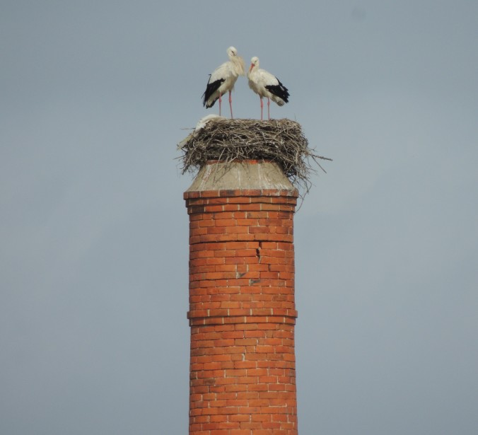 White Storks in Olhao (3)