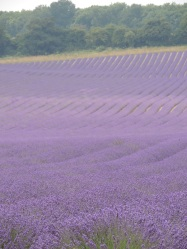 Kentish lavender fields