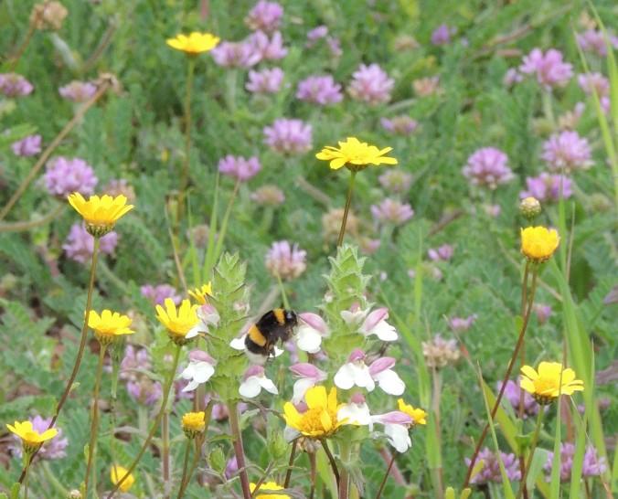 Portuguese bee
