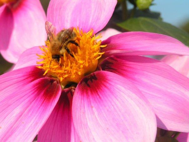 Wisley bee