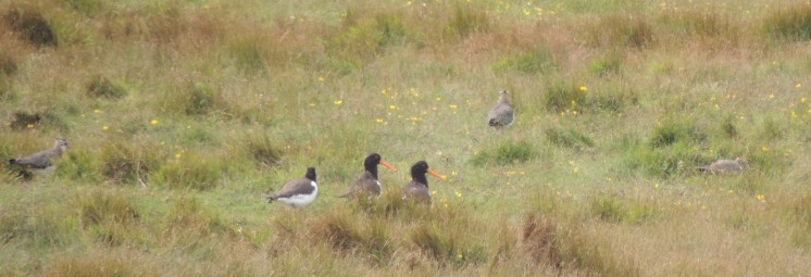 Oyster Catchers and Lapwings