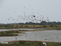 Lapwings and waders in flight