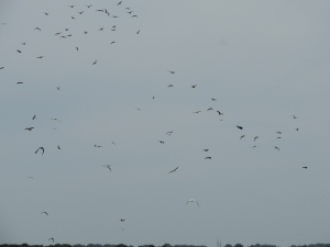 Winds and Lesser Black Backed Gulls upsetting the birds