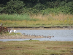My camera struggling to see godwits, red shanks and egrets