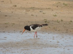 Oyster Catcher in close up