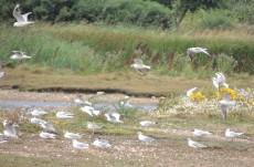 Gulls in the wind