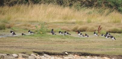 Oyster Catcher beaks