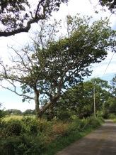 Shaped Oak trees