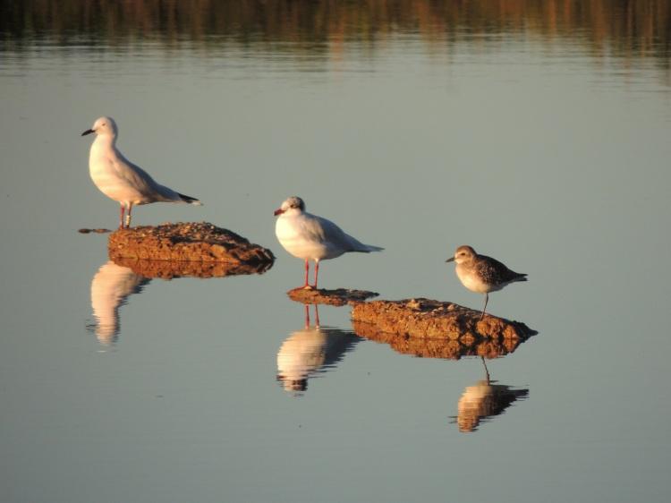Slender Beak Gull, Mediterranean Gull, Grey Plover