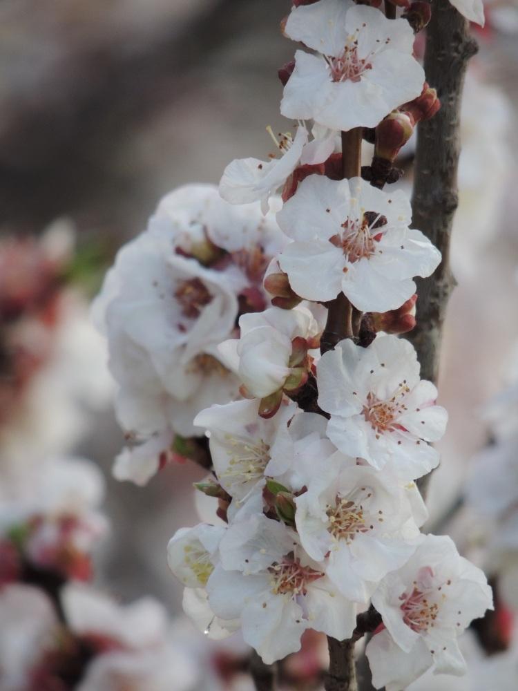 Almond Blossom 3.jpg