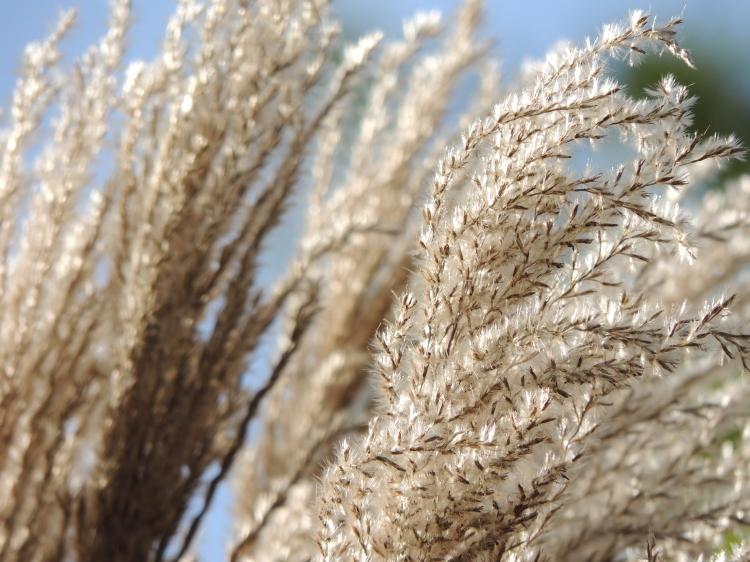 autumn-grasses