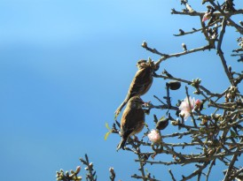 Almond blossom and blue skies is winter here