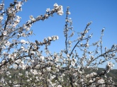Almond Blossom and Algarvian skies make me very happy