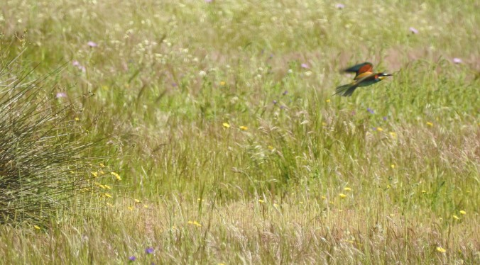 European Bee-eater in the Algarve