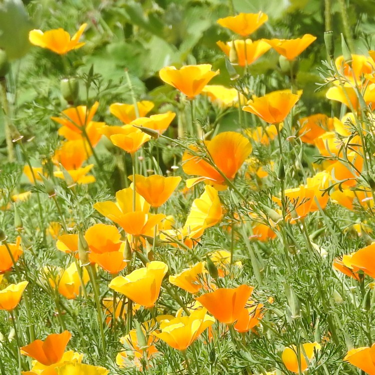 Orange Poppies at Kew in June