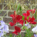 Sweetpeas for Dad