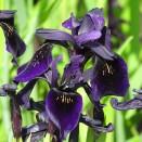 Iris at Kew