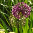 Told you the Alliums were everywhere in June