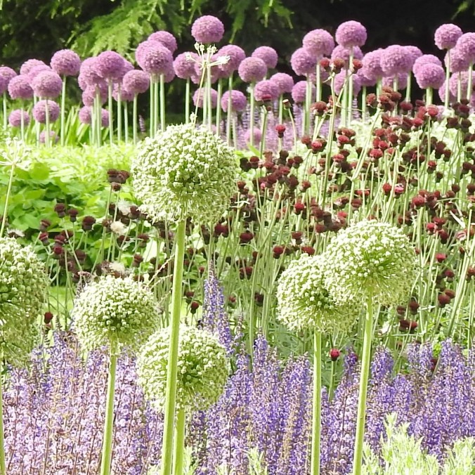 Alliums at Kew