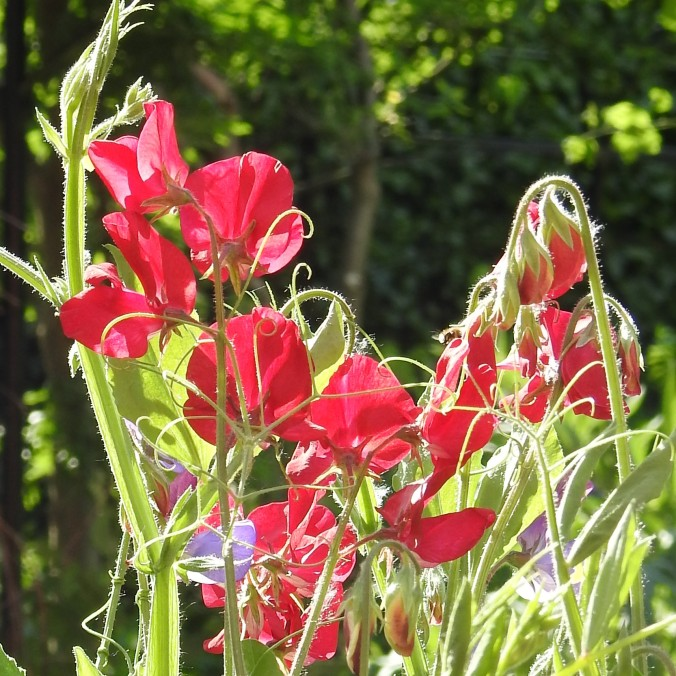 More sweetpeas to remember Dad by