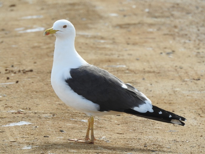 Lesser Black Backed Gull in the Saltpans