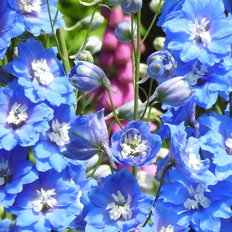 Delphinium Blue but is that pink I can see?!