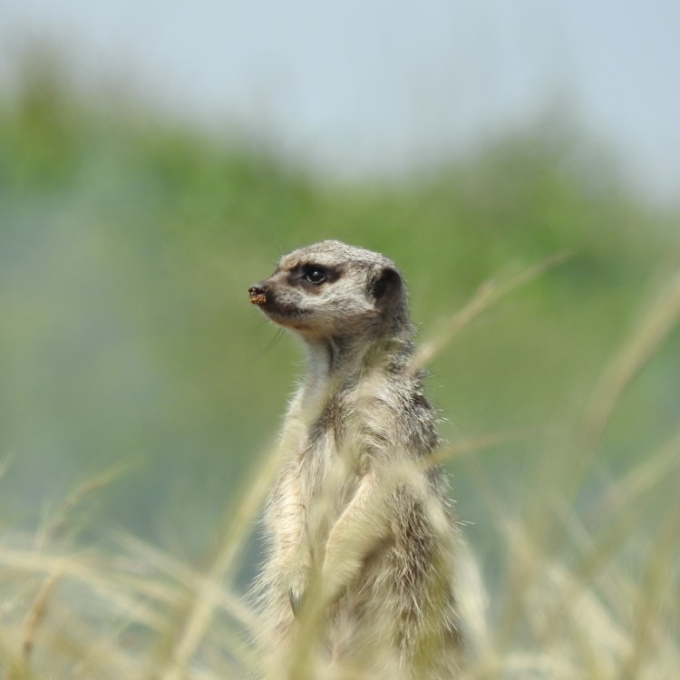 Meerkat watching the show