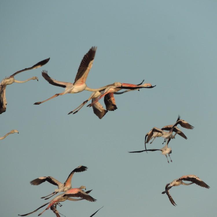 Spanish flamingos in the Algarve