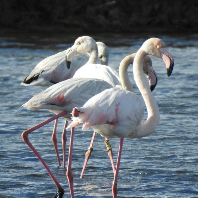 Young flamingos