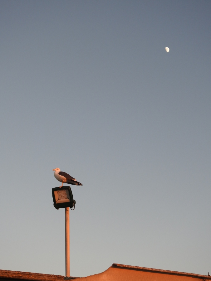 Gull and Moon at sunset