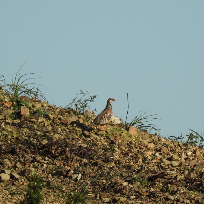 Partridge in the Algarve