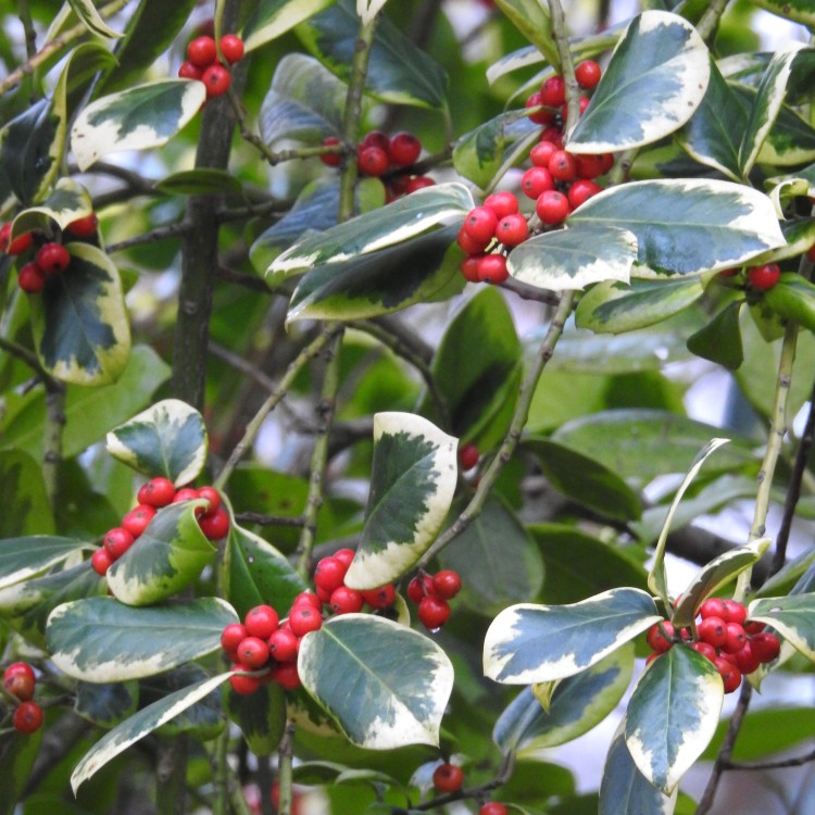 Holly in Hampshire