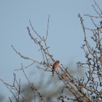 Chaffinch in a spiky tree