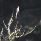 Shrikes spike their prey