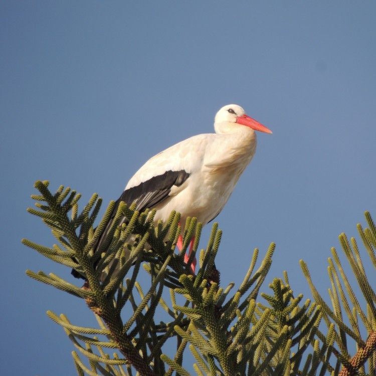 Stork in Olhao