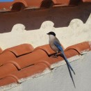 Azure Winged Magpie