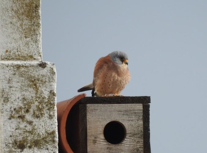 Kestrel on it's nesting box
